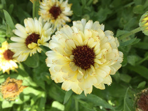 Calendula, Snow Princess - LifeForce Seeds