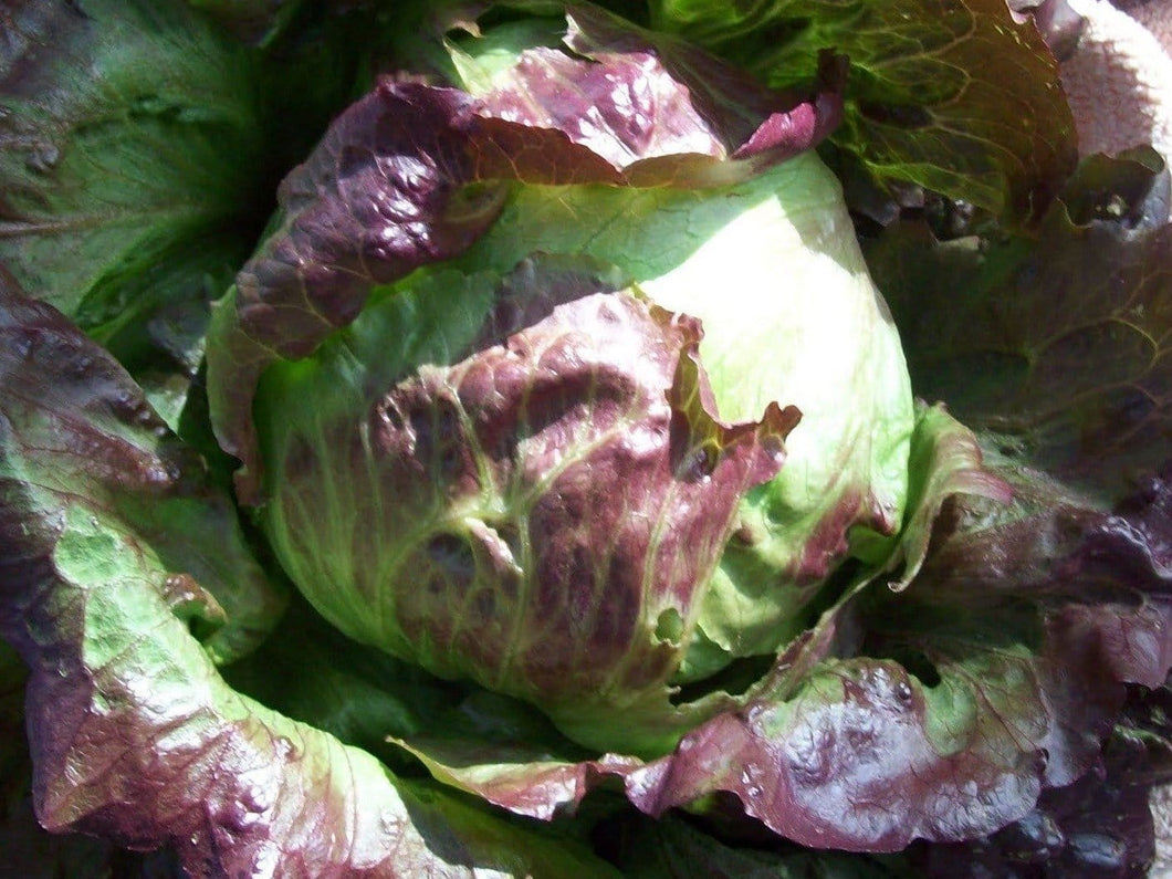 Lettuce Red Iceberg -  Organic Heirloom vegetable seed Australia LifeForce Seeds