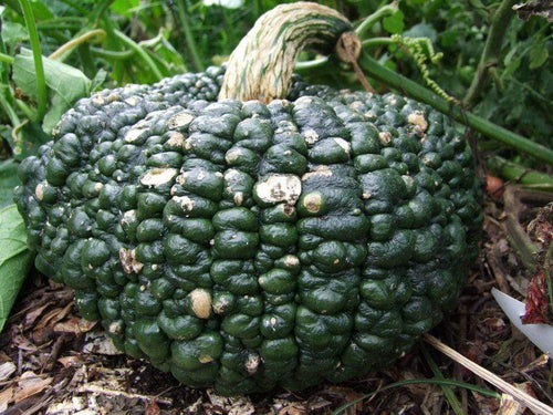 Pumpkin, Australian Ironbark -  Organic Heirloom vegetable seed Australia LifeForce Seeds