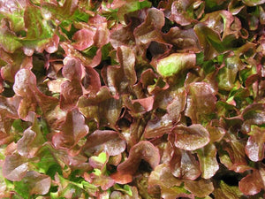 Lettuce Royal Oakleaf Red -  Organic Heirloom vegetable seed Australia LifeForce Seeds
