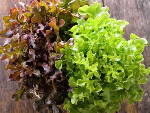 Lettuce Royal Oakleaf Mix -  Organic Heirloom vegetable seed Australia LifeForce Seeds