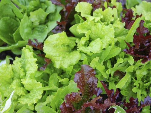 Lettuce Mix Pick & Eat -  Organic Heirloom vegetable seed Australia LifeForce Seeds