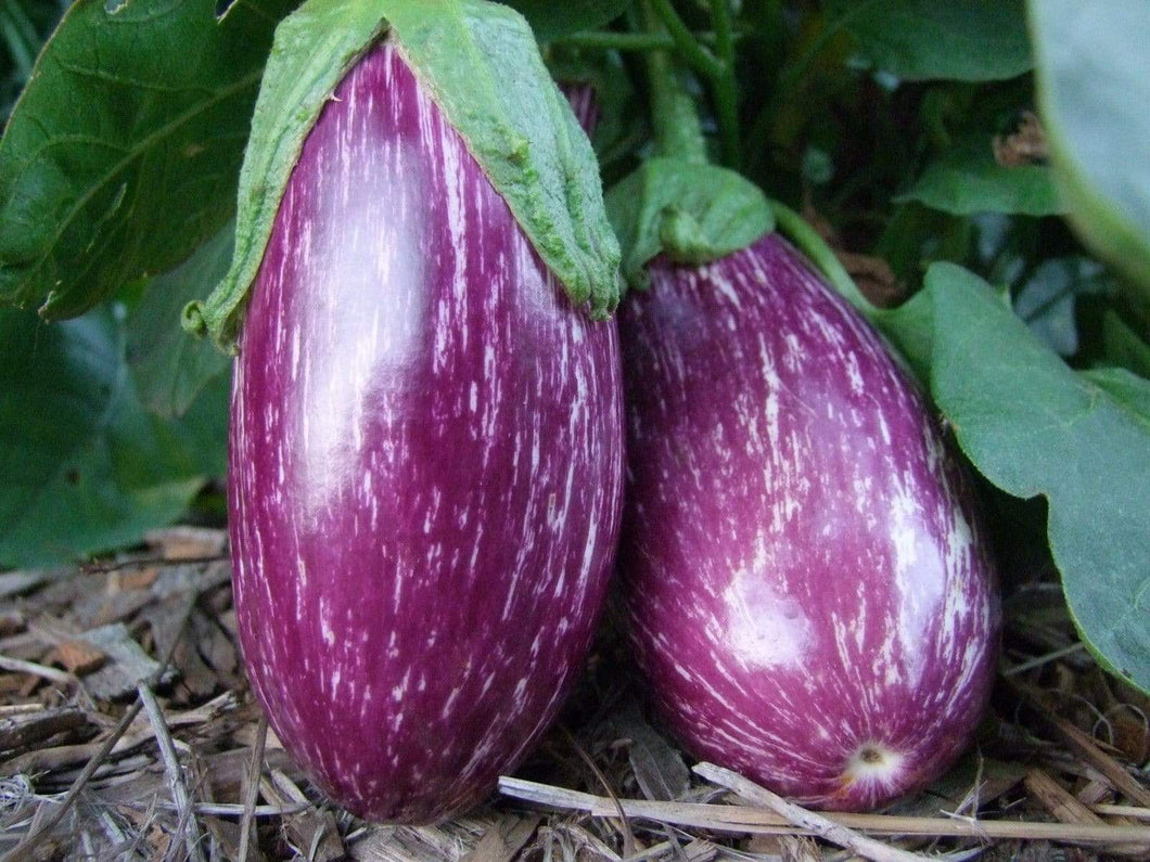 Eggplant, Listada de Gandia -  Organic Heirloom vegetable seed Australia LifeForce Seeds