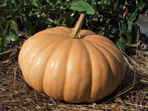 Pumpkin, Long Island Cheese -  Organic Heirloom vegetable seed Australia LifeForce Seeds