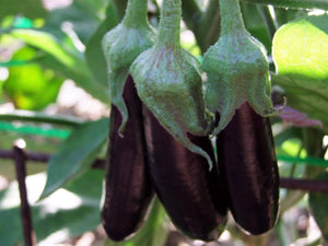 Eggplant, Long Purple -  Organic Heirloom vegetable seed Australia LifeForce Seeds