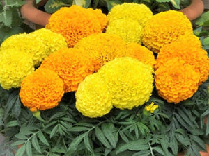 Marigold Crackerjack Mix -  Organic Heirloom vegetable seed Australia LifeForce Seeds