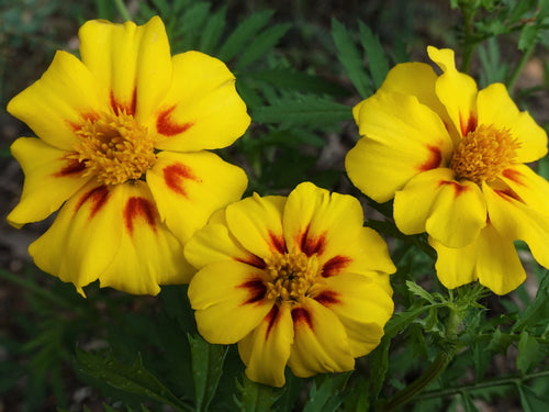 Marigold Naughty Marietta -  Organic Heirloom vegetable seed Australia LifeForce Seeds