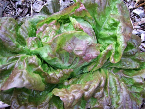 Lettuce Marvel of four seasons -  Organic Heirloom vegetable seed Australia LifeForce Seeds