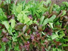 Load image into Gallery viewer, Mesclun Salad Mix -  Organic Heirloom vegetable seed Australia LifeForce Seeds