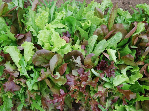 Mesclun Salad Mix -  Organic Heirloom vegetable seed Australia LifeForce Seeds