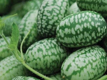 Load image into Gallery viewer, Cucumber, Mexican Sour Gherkin -  Organic Heirloom vegetable seed Australia LifeForce Seeds
