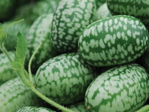 Cucumber, Mexican Sour Gherkin -  Organic Heirloom vegetable seed Australia LifeForce Seeds
