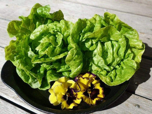 Lettuce Mini Butterhead -  Organic Heirloom vegetable seed Australia LifeForce Seeds