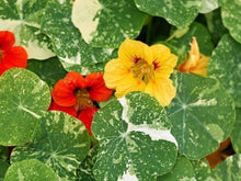 Load image into Gallery viewer, Nasturtium Alaska Mix -  Organic Heirloom vegetable seed Australia LifeForce Seeds