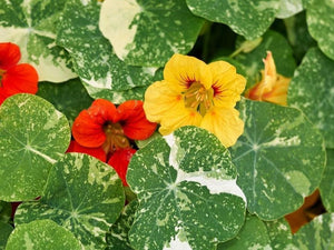 Nasturtium Alaska Mix -  Organic Heirloom vegetable seed Australia LifeForce Seeds