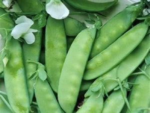 Snow Pea,  Oregon Sugar -  Organic Heirloom vegetable seed Australia LifeForce Seeds