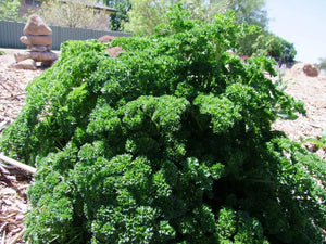 Parsley, Triple curl -  Organic Heirloom vegetable seed Australia LifeForce Seeds