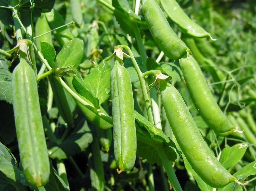 Pea, Greenfeast -  Organic Heirloom vegetable seed Australia LifeForce Seeds