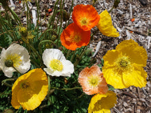 Load image into Gallery viewer, Poppy Iceland Summer Breeze Mix -  Organic Heirloom vegetable seed Australia LifeForce Seeds
