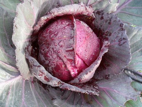 Cabbage Red Express -  Organic Heirloom vegetable seed Australia LifeForce Seeds