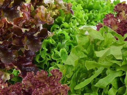 Lettuce Salad Bowl Red and Green Mix -  Organic Heirloom vegetable seed Australia LifeForce Seeds