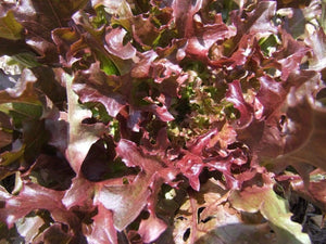Lettuce Salad Bowl Red -  Organic Heirloom vegetable seed Australia LifeForce Seeds