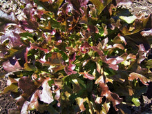 Load image into Gallery viewer, Lettuce Salad Bowl Red -  Organic Heirloom vegetable seed Australia LifeForce Seeds