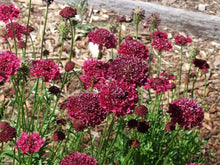 Load image into Gallery viewer, Scabiosa Merlot Red -  Organic Heirloom vegetable seed Australia LifeForce Seeds