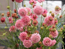 Load image into Gallery viewer, Scabiosa Salmon Rose -  Organic Heirloom vegetable seed Australia LifeForce Seeds