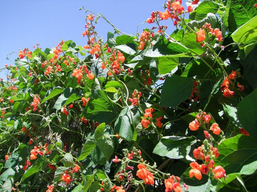 Bean Runner Scarlet -  Organic Heirloom vegetable seed Australia LifeForce Seeds