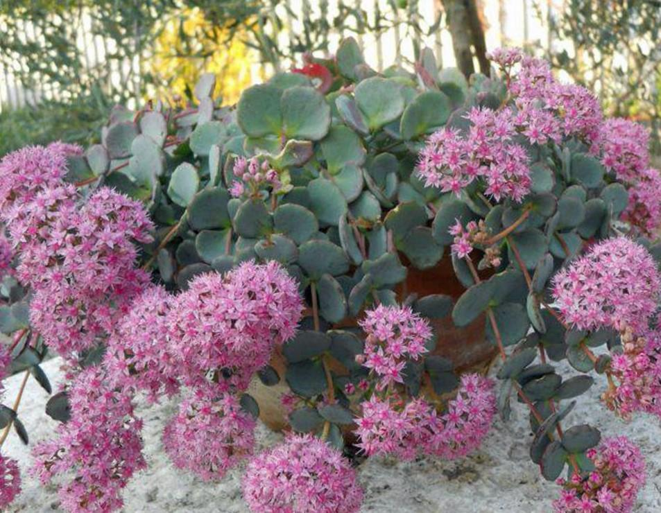 Sedum sieboldii - LifeForce Seeds