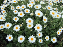 Load image into Gallery viewer, Shasta Daisy -  Organic Heirloom vegetable seed Australia LifeForce Seeds
