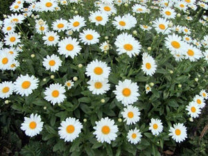 Shasta Daisy -  Organic Heirloom vegetable seed Australia LifeForce Seeds