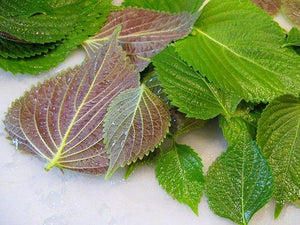 Perilla/Shiso, 'Korean Green' -  Organic Heirloom vegetable seed Australia LifeForce Seeds