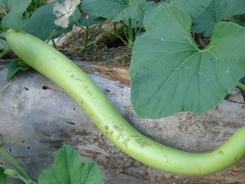 Gourd, Snake -  Organic Heirloom vegetable seed Australia LifeForce Seeds
