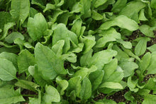 Load image into Gallery viewer, Spinach Viroflay -  Organic Heirloom vegetable seed Australia LifeForce Seeds