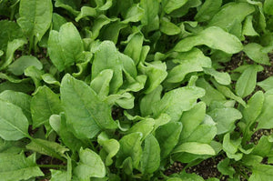 Spinach Viroflay -  Organic Heirloom vegetable seed Australia LifeForce Seeds
