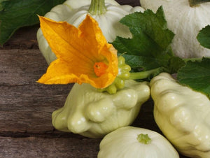 Squash Button Early White Scallop - LifeForce Seeds