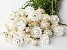 Load image into Gallery viewer, Strawflower, White - LifeForce Seeds