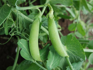 Pea Climbing, Sugar Snap -  Organic Heirloom vegetable seed Australia LifeForce Seeds