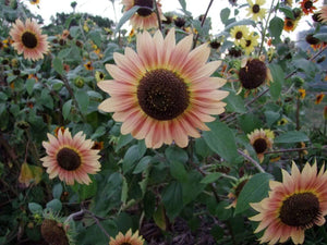 Sunflower Evening Sun -  Organic Heirloom vegetable seed Australia LifeForce Seeds