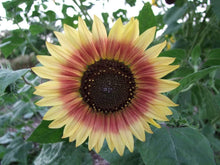 Load image into Gallery viewer, Sunflower Evening Sun -  Organic Heirloom vegetable seed Australia LifeForce Seeds