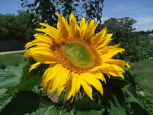Load image into Gallery viewer, Sunflower Giant Russian - LifeForce Seeds
