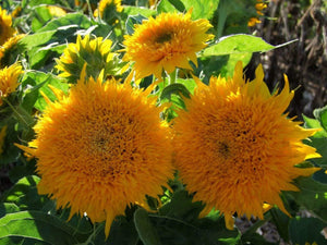 Sunflower Teddy Bear -  Organic Heirloom vegetable seed Australia LifeForce Seeds