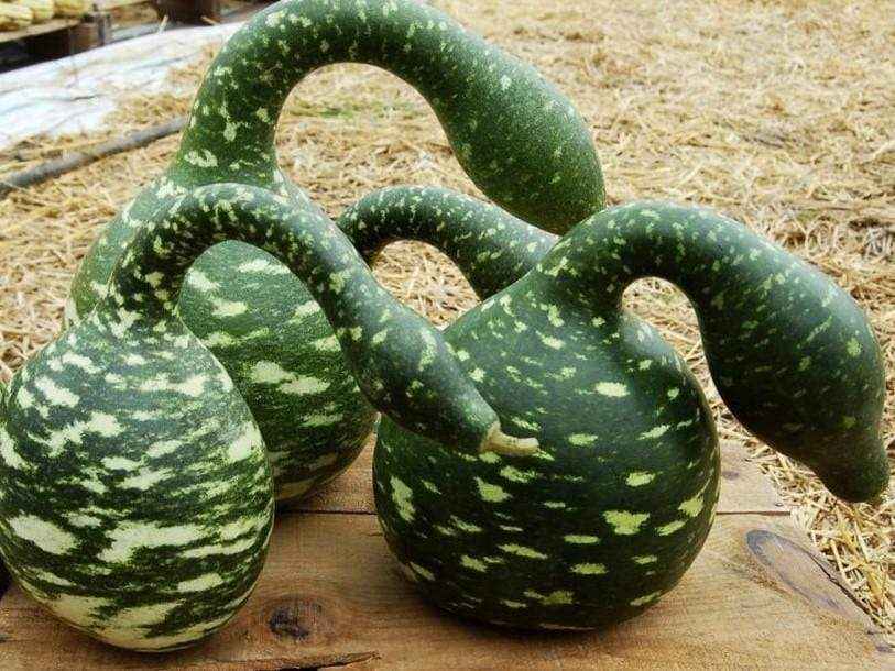 Gourd, Speckled Swan -  Organic Heirloom vegetable seed Australia LifeForce Seeds