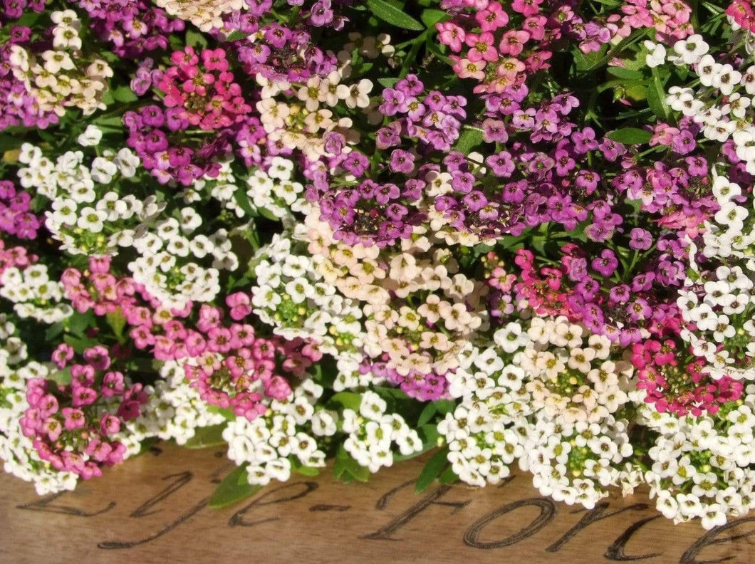 Alyssum Pastel Splash -  Organic Heirloom vegetable seed Australia LifeForce Seeds