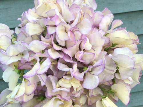Sweet pea, High Scent -  Organic Heirloom vegetable seed Australia LifeForce Seeds