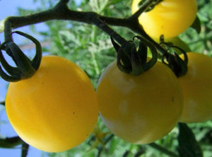 Tomato, Lemon Drop -  Organic Heirloom vegetable seed Australia LifeForce Seeds