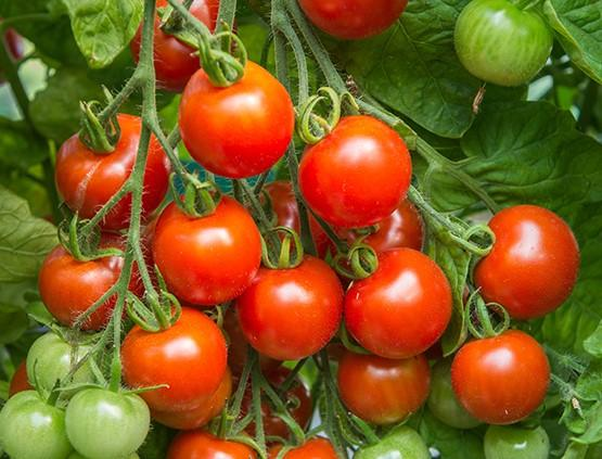 Tomato, Tommy Toe - LifeForce Seeds