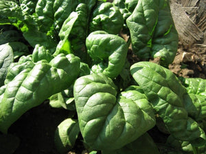 Spinach Winter Giant -  Organic Heirloom vegetable seed Australia LifeForce Seeds